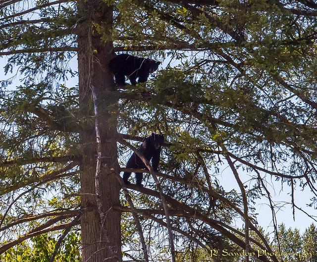 Bear Perch
