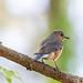 Mrs. Bluebird