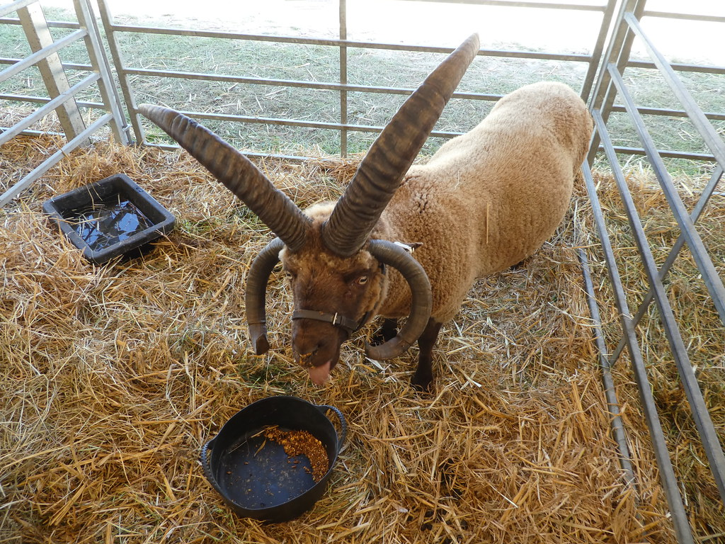 A long horned goat at the Great Yorkshire Show