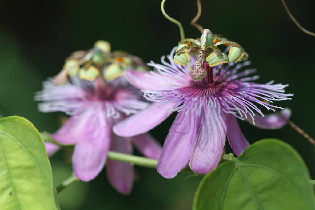 Passiflora sect. Kermesina