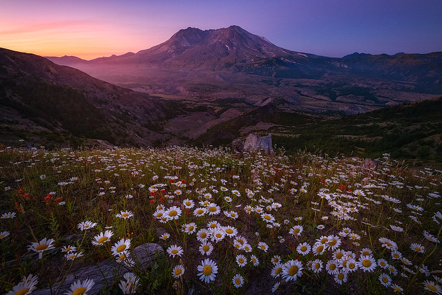 Where the Daisies Bloom
