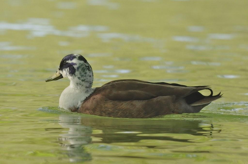 Male Mallard Duck - Anas platyrhynchos