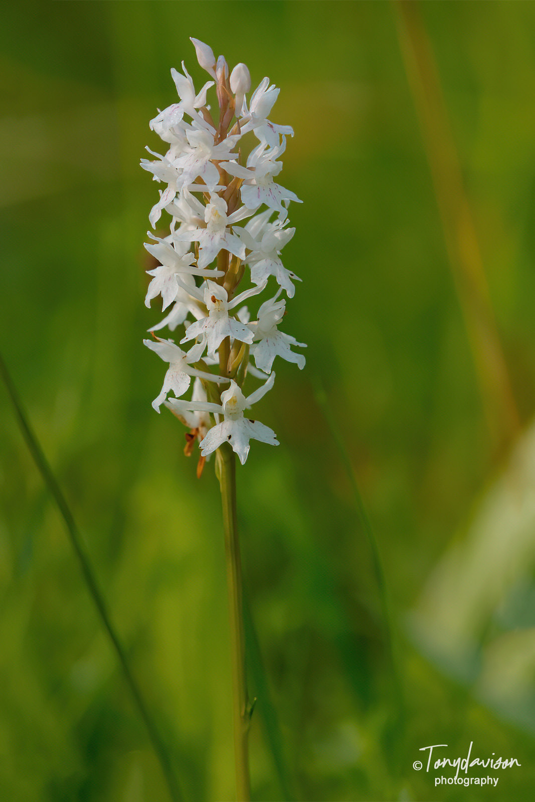 Common Spotted Orchid - a white variety
