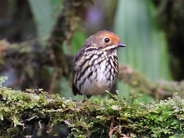 Voces del Bosque: Aves representativas del Alto Mayo
