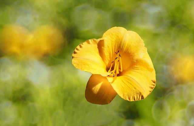 Hémérocalle Hybride 'Suns 'eyes'