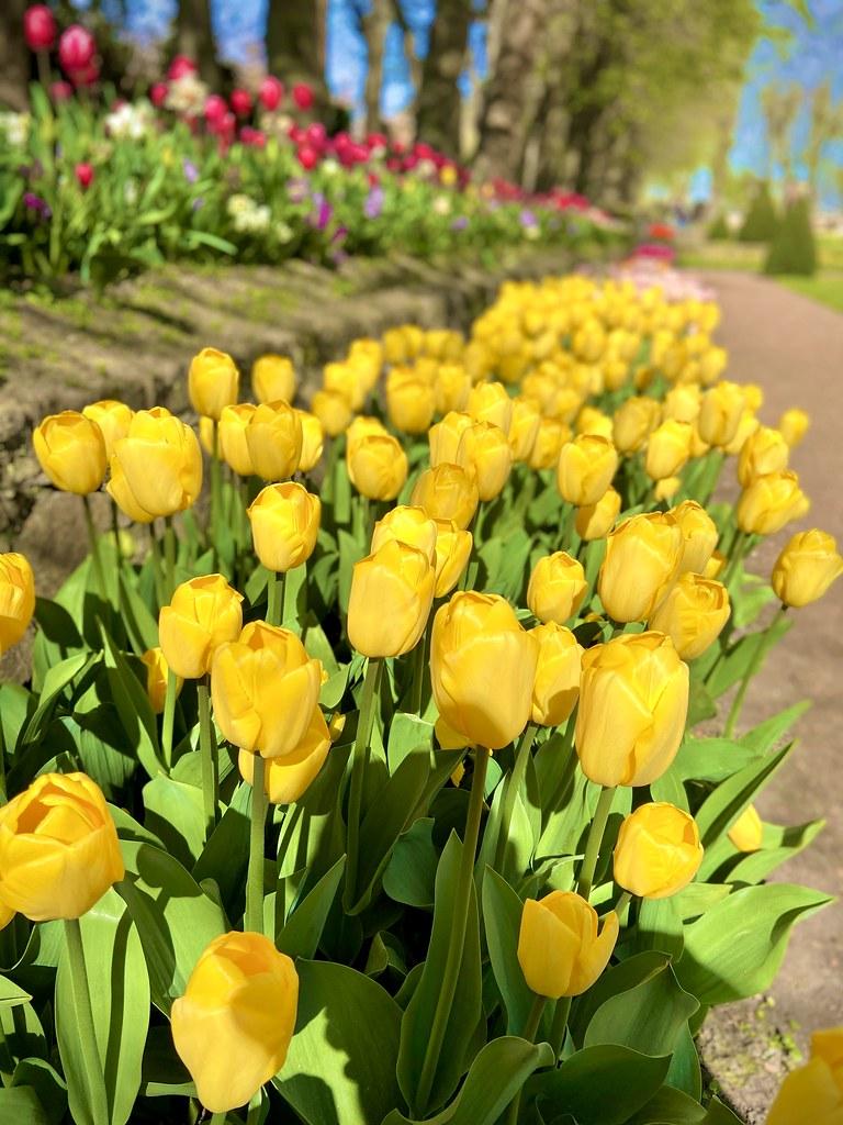 Tulips 💐
