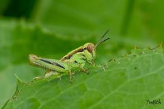Nymphe de criquet - Grasshopper nymph