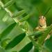 Criquet - Grasshopper