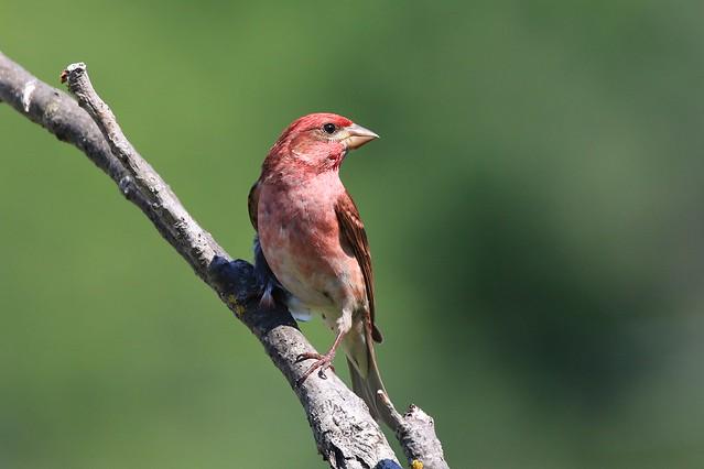 Purple Finch male - Roselin pourpré mâle ( Diane )