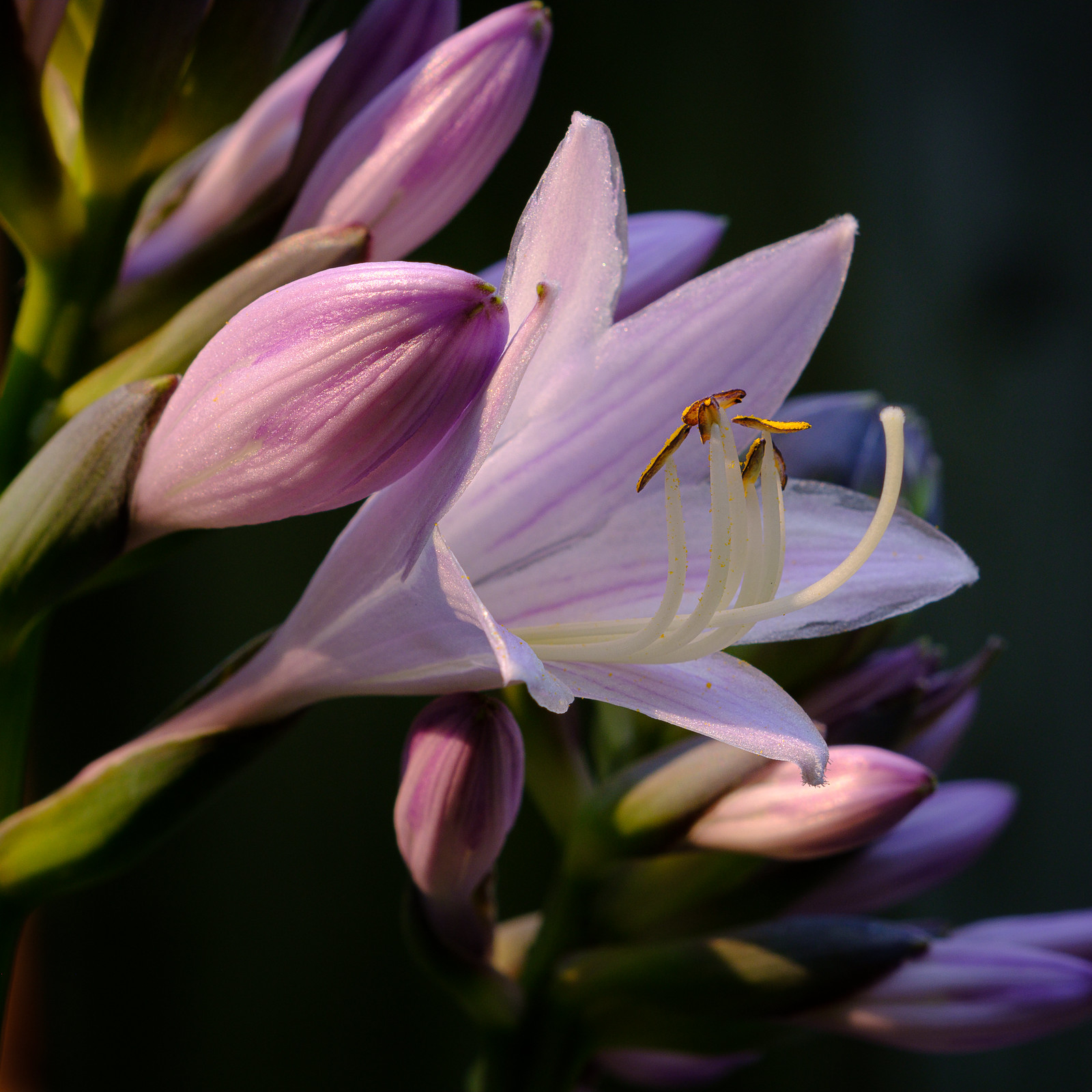 Hosta Flowers 2