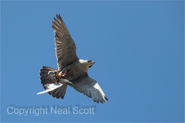 Another shot of adult female Peregrine