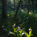 Sunbeam on Ladyslippers