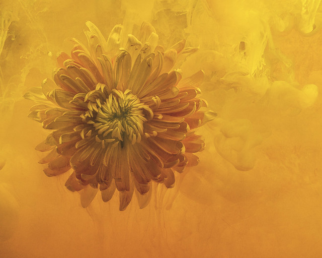 From the Series Submerged: My Dahlia Pretending To Be The Sun (explored)