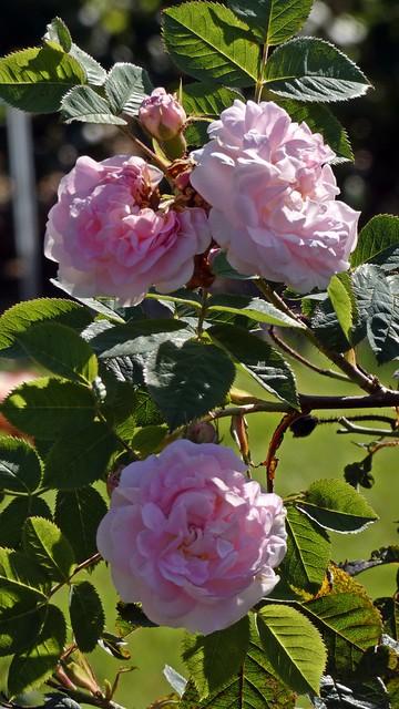 Thème du mois de Juillet 2021: Les roses