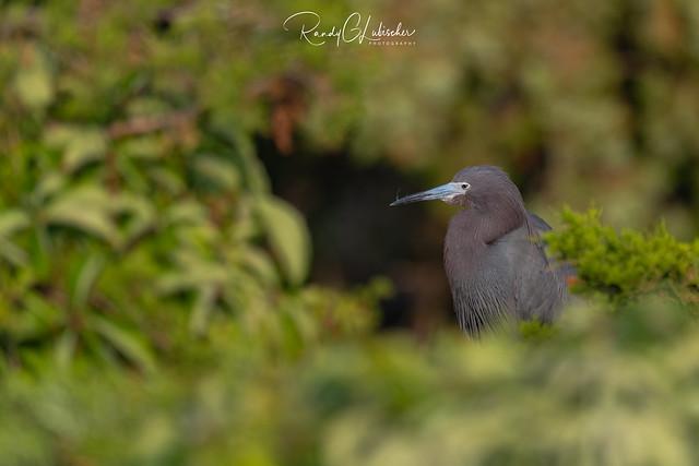 Little Blue Heron   Egretta caerule   2021 - 7