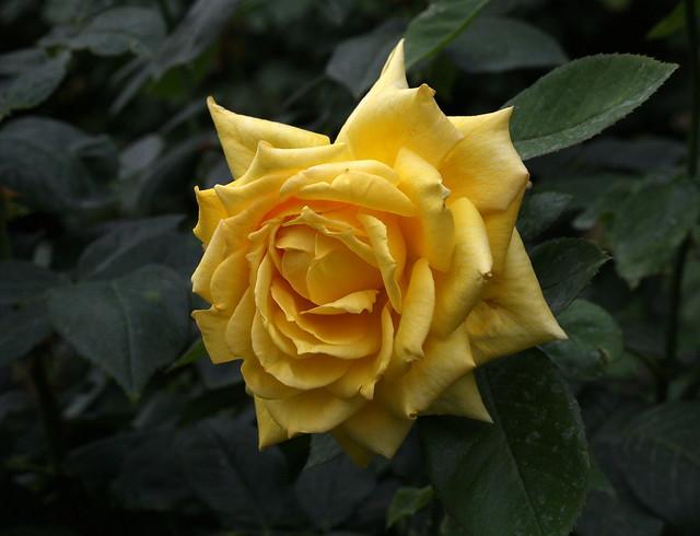 Rosa 'Landora'