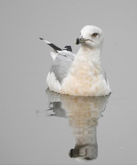Ring-Billed Gull in Napa