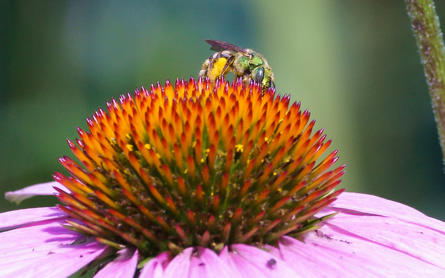 Coneflower and sweat bee