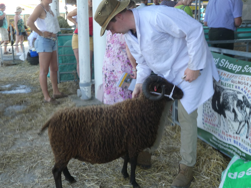 A Highland sheep being prepared for judging at the Great Yorkshire Show