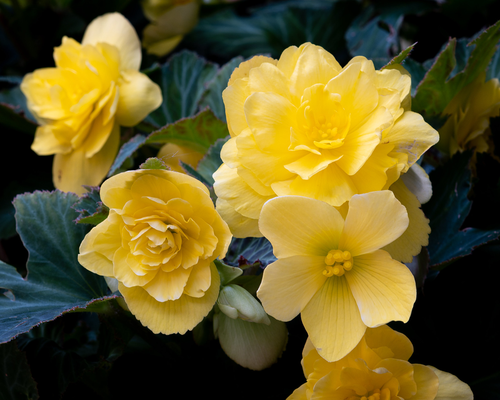 Begonias 2