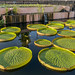 International Waterlily Collection in San Angelo, Texas