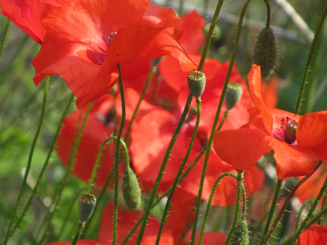 Montreal poppies