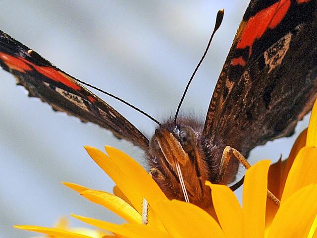 Der Nektarzuzler  -  Slurping Nectar