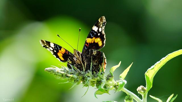 9960 - Butterfly