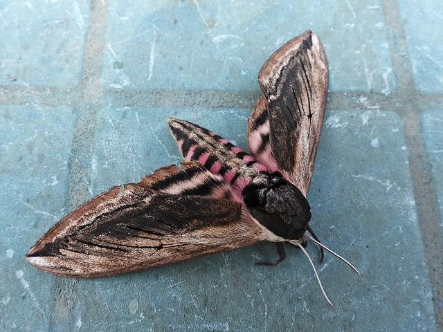 Privet Hawk moth wings open 20.7.21