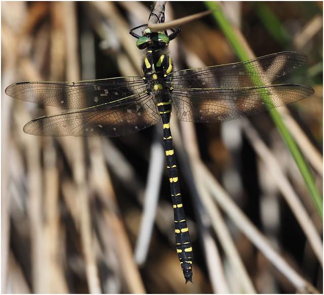 Golden-ringed Dragonfly (Cordulegaster boltonii)  male