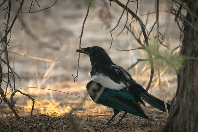Magpie in Shade