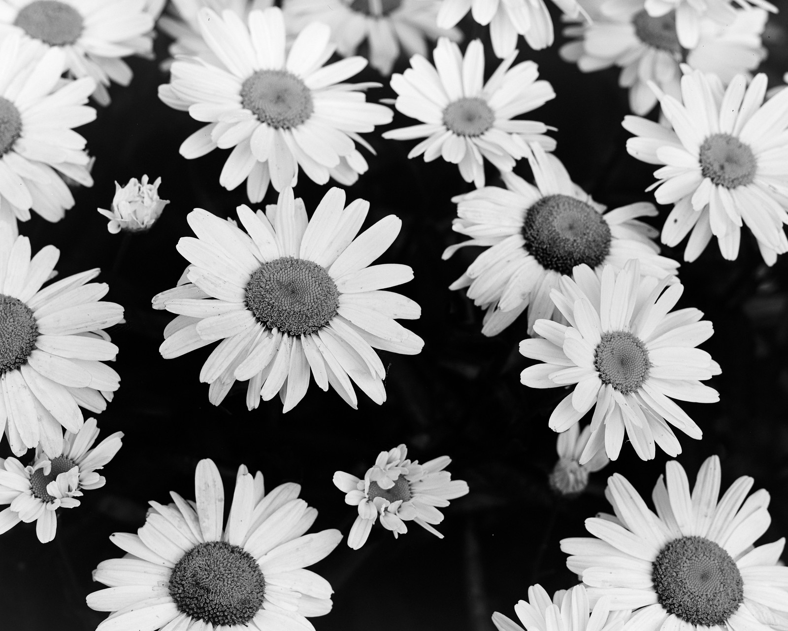 More Daisies