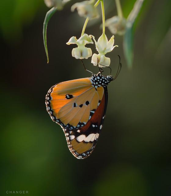 Danaus chrysippus  .  樺 斑 蝶  .   1869