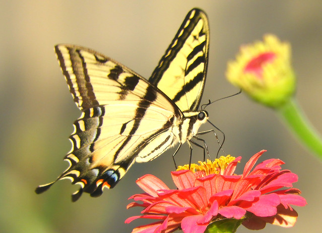 Western Tiger Swallowtail, and Dahlias