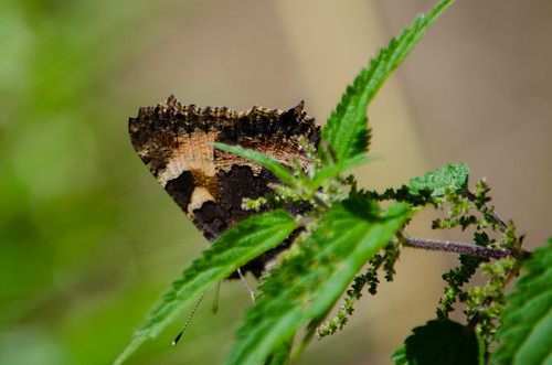 Small tortoiseshell butterfly, summer generation