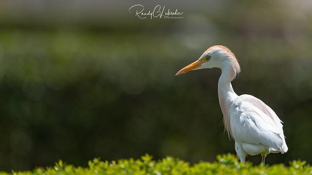 Cattle Egret | Bubulcus ibis | 2021 - 6