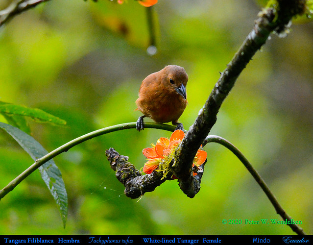 WHITE-LINED TANAGER Female Tachyphonus rufus Drinking Porotón Nectar in Mindo in Northwestern ECUADOR. Tanager Photo by Peter Wendelken.