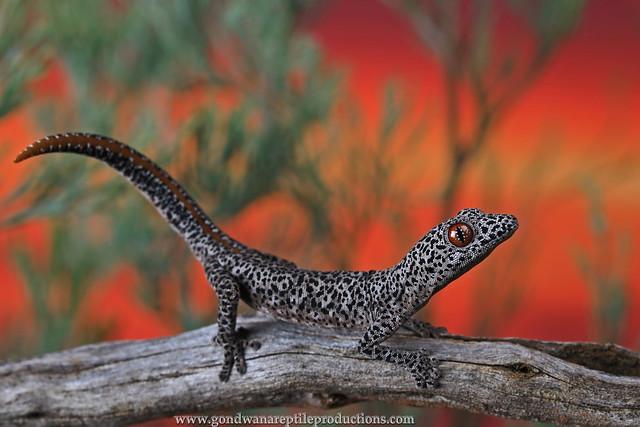 Portrait: Golden-tailed Gecko