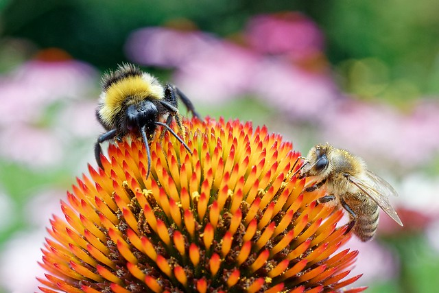 Bee and bumblebee  [Explored 20.7.2021}
