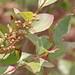 Lyonia ligustrina - Photo (c) Mary Keim, algunos derechos reservados (CC BY-NC-SA)