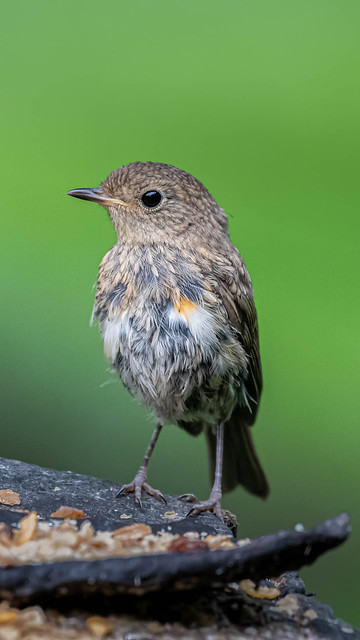 Young Robin.