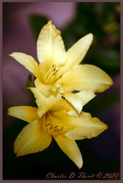 Lily x2