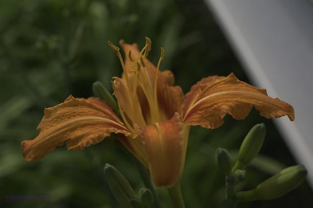orange blossom