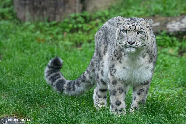 Snow Leopard - Köln Zoo - Germany