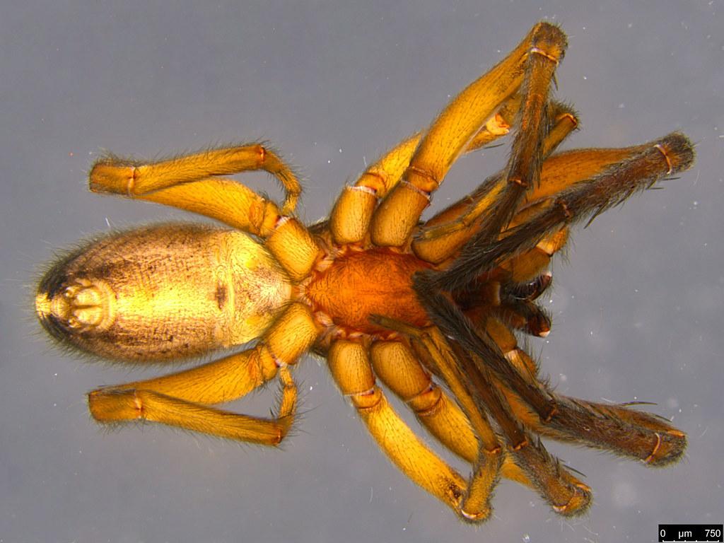 1c - Gippsicola sp.