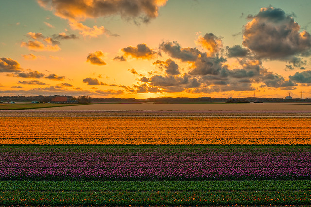 Some tulips like to dress as sunsets. Petten, Holland.
