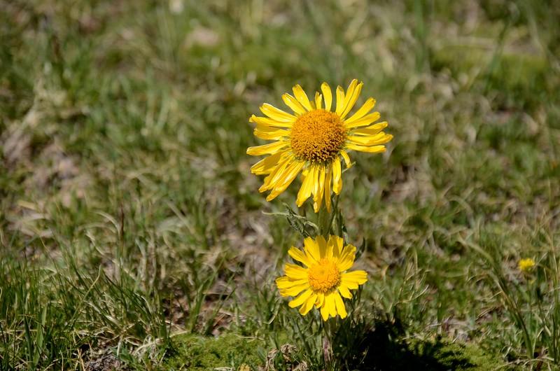 Alpine Sunflower(Old Man of the mountain) (2)