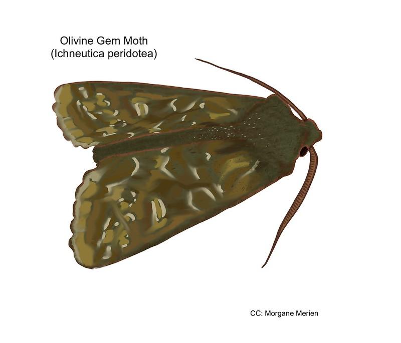 Olivine Gem Moth Drawing