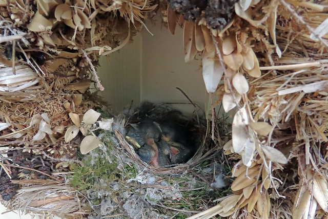 21423.schlafende Vogelkücken