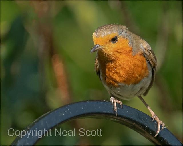 Robin in the garden-2